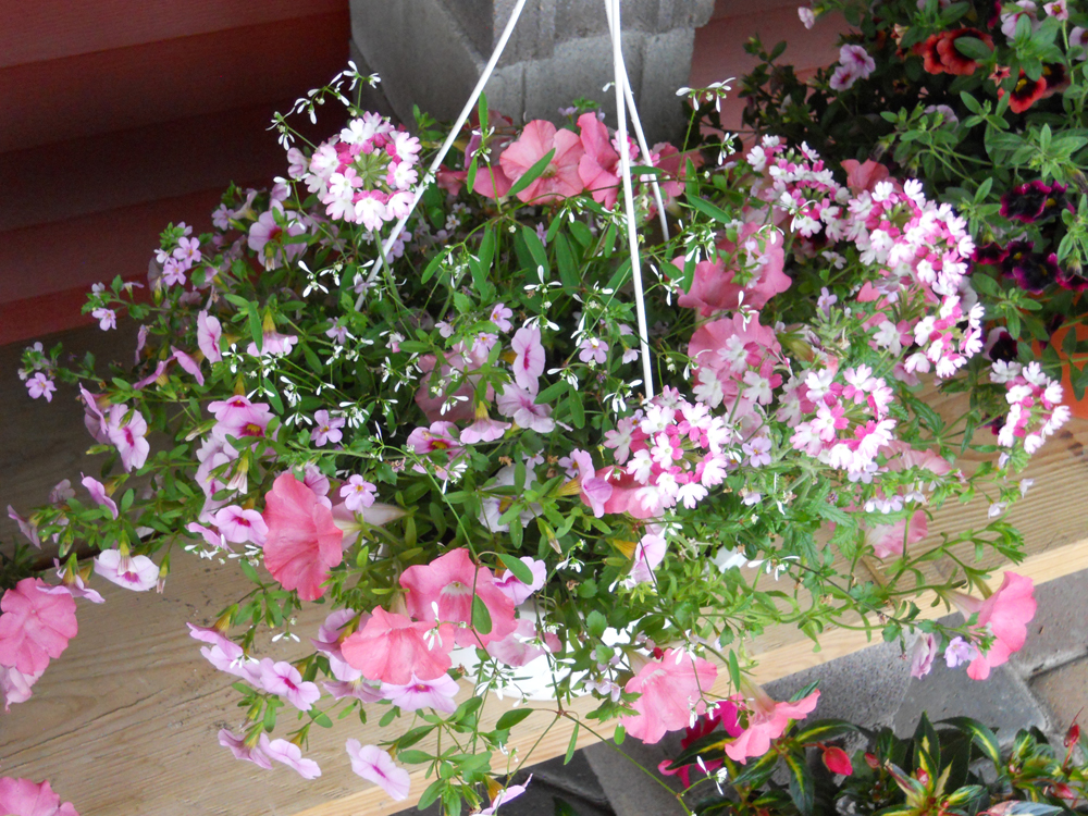 Beautiful Pink And White Hanging Basket The Rock Pile Garden Center