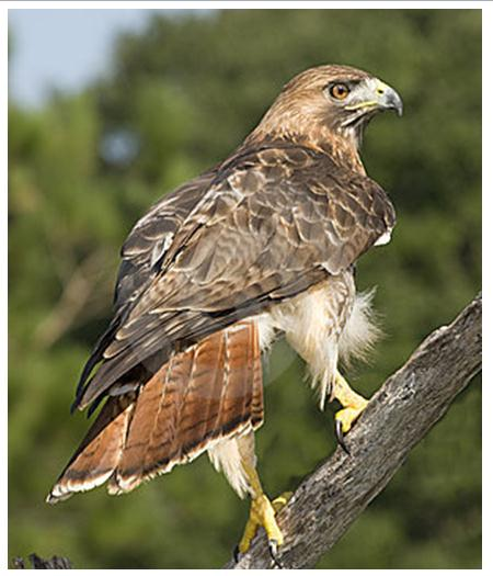 Bird Of The Month Red Tailed Hawk The Rock Pile Garden